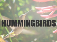 hummingbird plants